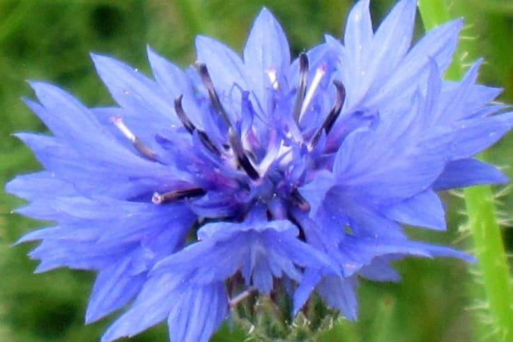 Like blue? Plant cornflowers.