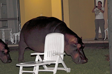 Hippopotamus grazing at night in garden in St. Lucia