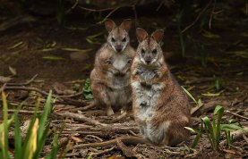 The endangered parma wallabies, scientifically known as Macropus Parma, on the sanctuary owned by Peter Pigott.