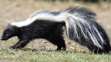 The beauty of the skunk is matched by the revolting power of its smell.