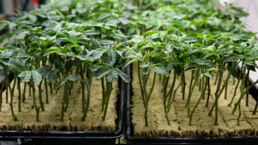 """Cann Group is optimistic it can be one of the first producers to bring a """"schedule 3"""" drug to market."""