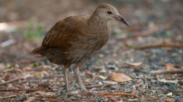 The endangered Lord Howe Woodhen.
