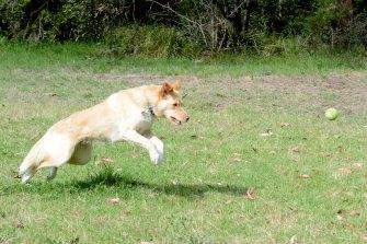 Barney Zwartz's dog Nessie playing in the park.