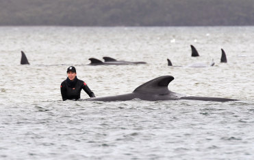 Looking for answers to mass whale beaching
