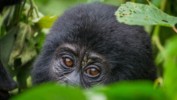 'Beacon of hope': Mountain gorilla population on the rise