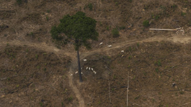 Cattle grazes next to a lone standing tree in a deforested plot near Porto Velho, Brazil.