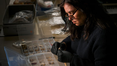 Artefacts manager Jen Porter examines some of the 1000 teeth found at the site next to Young and Jackson's pub.