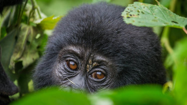A mountain gorilla in the Bwindi Impenetrable Forest National Park in Uganda.
