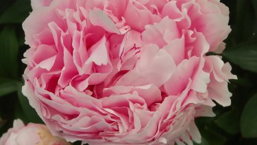 Emily Twynam is believed to have planted the pink peonies.