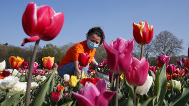 """A woman wearing a sanitary mask to protect against coronavirus picks tulip flowers to be home delivered, in the """"Tulipani Italiani"""" tulip field, planted by a Dutch couple to recreate the tradition in the Netherlands where you can pick your own tulip, in Arese, near Milan, Italy."""
