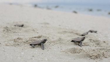Baby turtles set off on Milman Island.