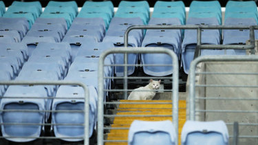 A cat was among the small crowd that gathered to watch the first game behind closed doors on Thursday night - with the NRL a whisker away from going broke.