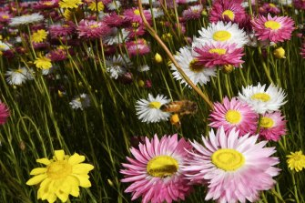 Paper daisies are blooming in Mount Annan, but keeping them alive and blooming as the drought worsens is prompting new innovations in water management.
