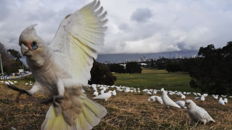 Hundreds of little corellas have flocked to Queens Park in Sydney's eastern suburbs.