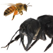 One of the first images of a living Wallace's giant bee. Megachile pluto is the world's largest bee,  approximately four times larger than a European honey bee.