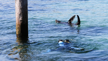 Scuba divers and seals took advantage of the warm weather at Chowder Bay.
