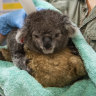 As koalas fight for life in NSW, volunteers are replanting their burnt forests
