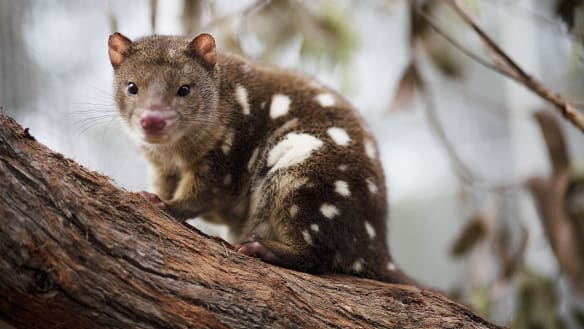 Where trees rain from the sky so tiger quolls might roam again