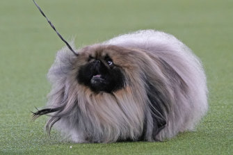 Wasabi, a Pekingese won the blue ribbon in Best in Show at the Westminster Kennel Club.