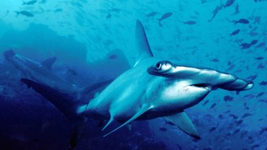 Large sharks roam across very large swathes of the ocean.