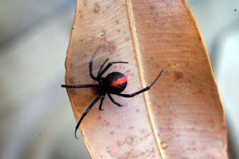 Redback spiders were responsible for half of all spider hospitalisations in 2017-2018.