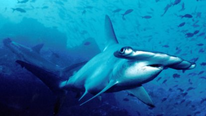 A Queensland exporter sent 30 sharks to a French aquarium. They all died