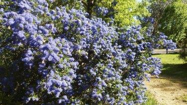 A ceanothus, or Californian lilac.