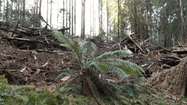 The Toolangi coupe in Victoria's Central Highlands last May.