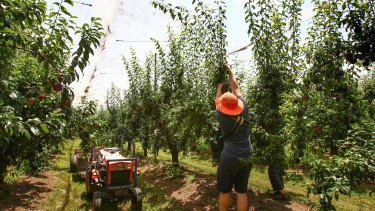 Fruit growers are urgently trying to find enough workers to harvest their crops this year.