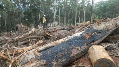 While Victoria's forests burnt, logging continued