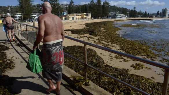 Collaroy Beach closed after wall of seaweed washes ashore