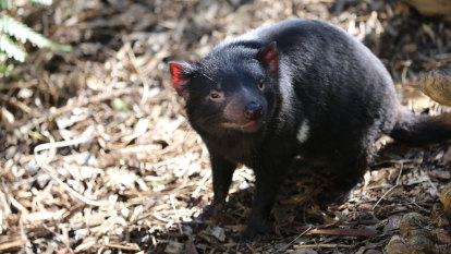 'Quick fix': Tassie devil among species no longer subject to recovery plans