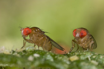 An image of one species of Drosophila, or small fruit flies. Experiments on such flies suggest scientists may be missing out on subtle effects of climate change that have much broader implications.