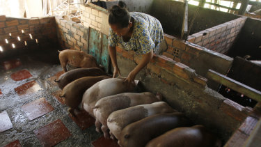Cambodian Aok Kim gives food for feeding her pigs near her home in Ta Prum village outside Phnom Penh, Cambodia.