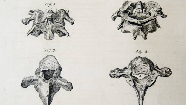 This anatomical drawing, also by Andrew Fyfe, shows some of the 'true vertibrae'.
