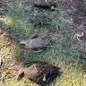 Dozens of birds dead, sick following botulism outbreak in Perth