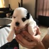 Newborn puppy taken from mother during Brisbane break-in