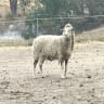 Brandy the runaway sheep saved from the chopping block