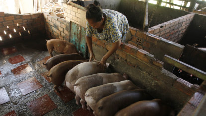 Asia scrambles to contain 'largest outbreak' of pig disease in history