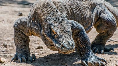 Controversial plan to save 'shrinking' Komodo dragons