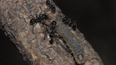 The Notoncus ants guard and clean Eltham copper caterpillars as they emerge at night to feed.