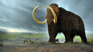 A woolly mammoth in the Royal BC Museum in Victoria, Canada. The display is from 1979, and the fur is musk ox hair.