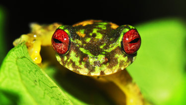 The threatened mossy red-eyed frog. Australia has one of the world's worst extinction records.