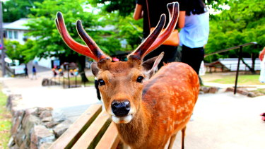 Nara's deer roam freely and are fed by tourists, but the animals are dying as a result of eating plastic waste left behind.