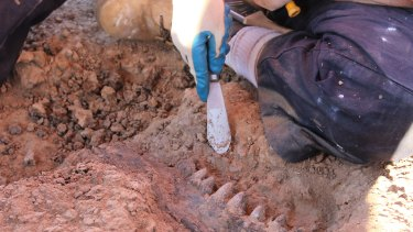 A Diprotodon jawbone being unearthed at the South Walker Creek site.