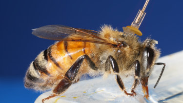The research team tested the effects of the light on anaesthetised honey bees before moving to patient trials.