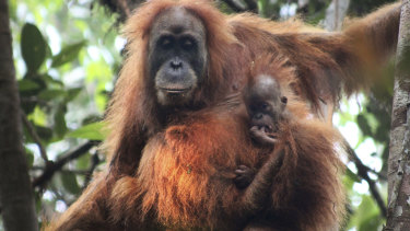 Small-scale ecotourism couldn't overcome the negative effects of logging on orang-utans in Sumatra.