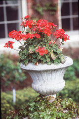 Big Red has the looks but also the easy-going temperament to be a winner flower.