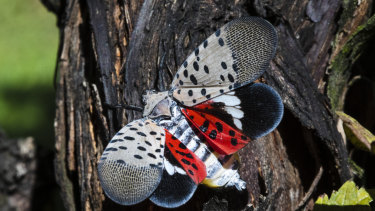 The spotted lanternfly has emerged as a serious pest since the federal government confirmed its arrival in south-eastern Pennsylvania five years ago.