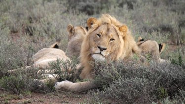 The remains were found near a pride of lions.